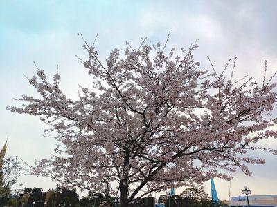 今日は、桜の日!